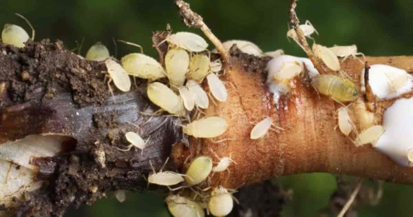 Close up of Aphids feeding on roots