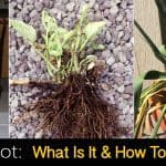 Root Rot: How To Care For Plants With Rotting Roots