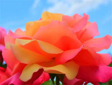 rose-bloom-colorful