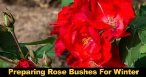 Preparing roses for winter