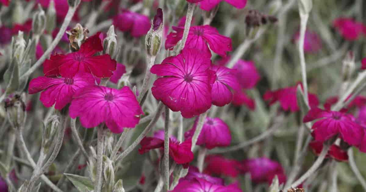 Flowers of Lychnis Coronaria up close