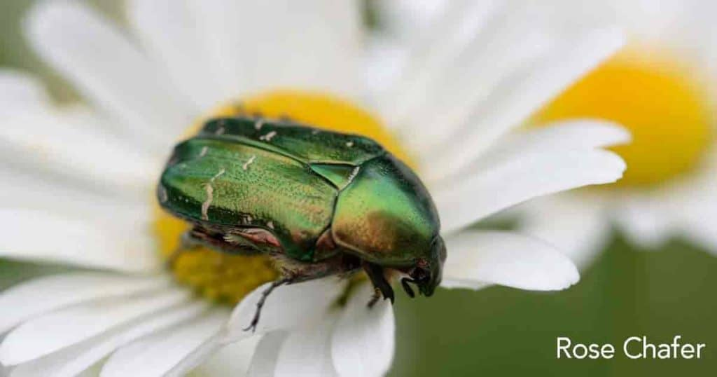 rose chafer beetle feeding on a flower