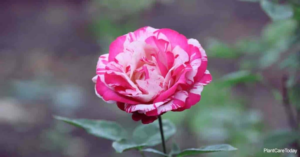Colorful rose bloom, learn to what is the best rose fertilizer