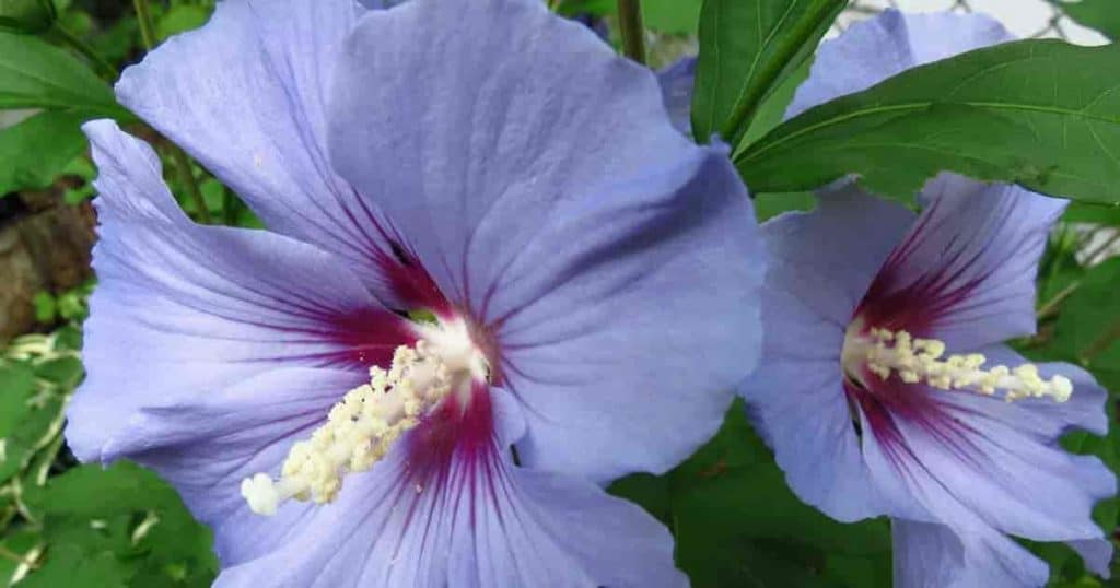Flowering Rose of Sharon