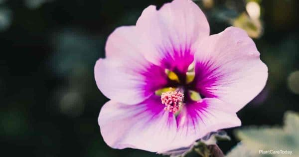 Flowers of the Rose of Sharon
