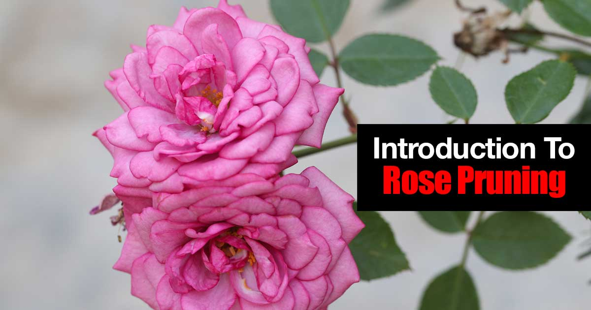 How To Introduction To Rose Pruning