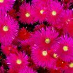 flowering ice plant rosea