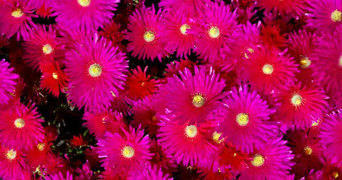 flowering ice plant Drosanthemum Floribundum