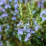 Science Agrees With The Amazing Rosemary Health Benefits In Culinary And Medicine