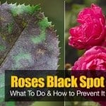 Black Spot On Roses: What To Do And How to PreventIt