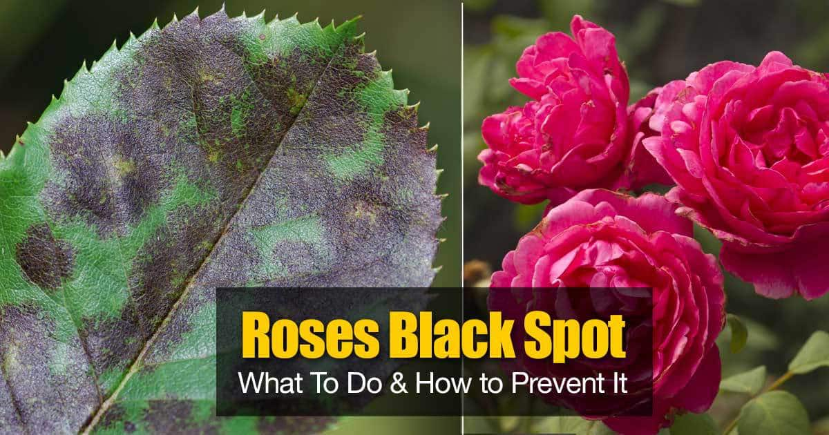 Black Spot On Roses What To Do And How To Prevent It