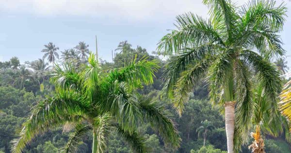 Royal Palm tree growing in the landscape