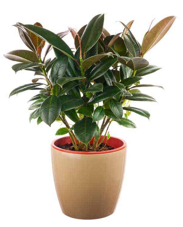 The Many Rubber Plant Varieties There Are Of Ficus Elastica