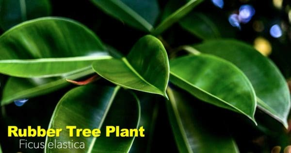 rubber tree plant care - Ficus elastica
