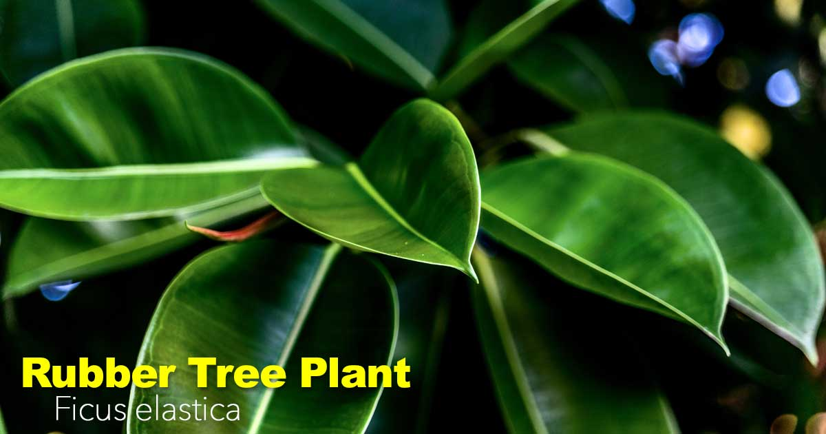 Rubber Tree Plant Care Ficus Elastica