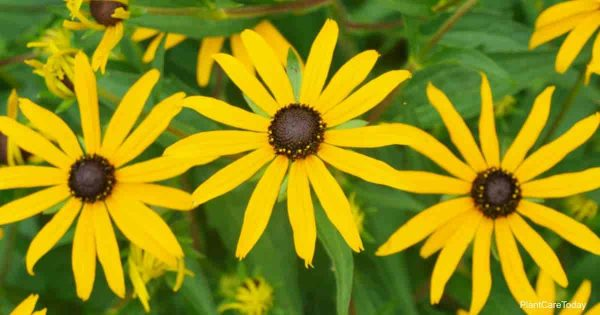 Rudbeckia Maxima flowers - Great Coneflower