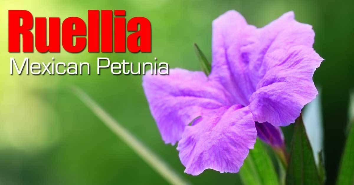 purple showers Ruellia