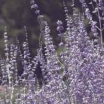 Growing Russian Sage Plants: How To Care For Perovskia
