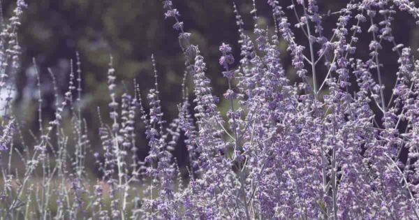 russian sage herb