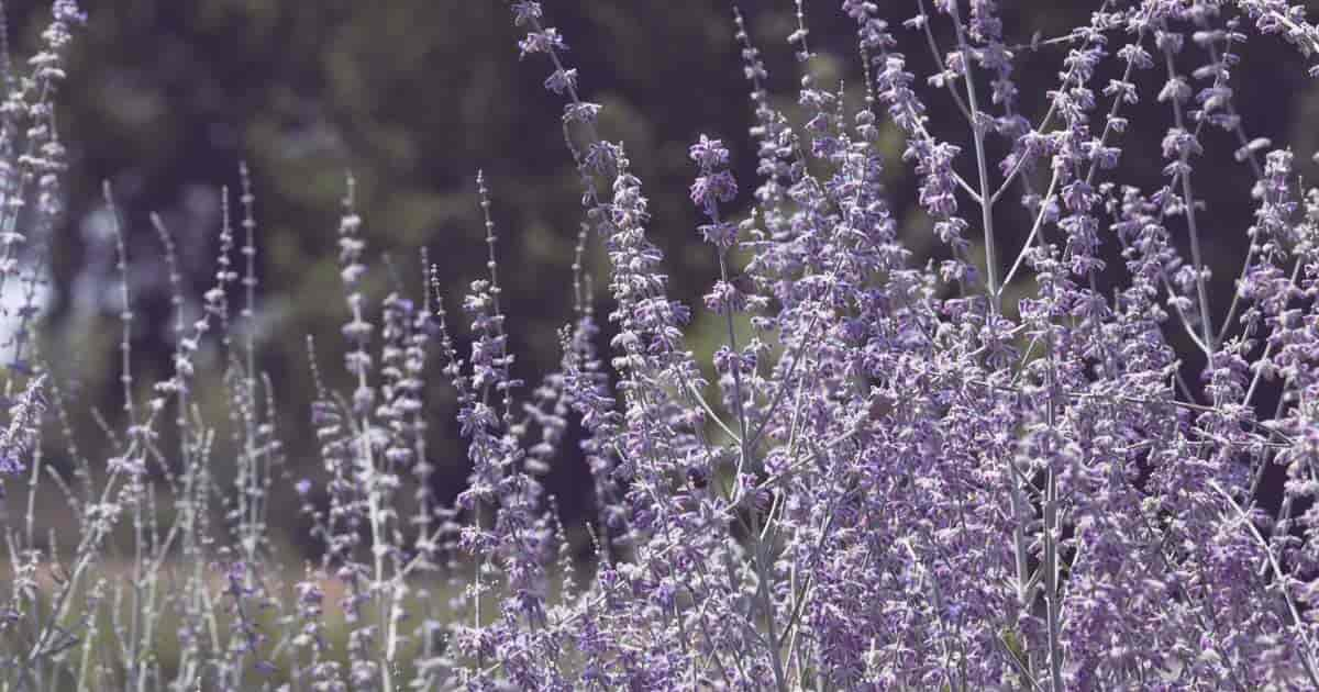 flowering Russian Sage - Perovskia atriplicifolia - makes an impressive mass planting that can mimic hedges of lavender in both appearance and scent