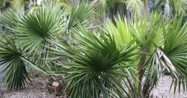 Sabal Palm (Dwarf Palmetto)