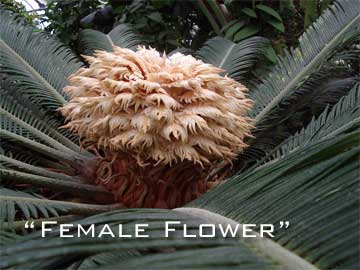 female flower of sago palm seeds