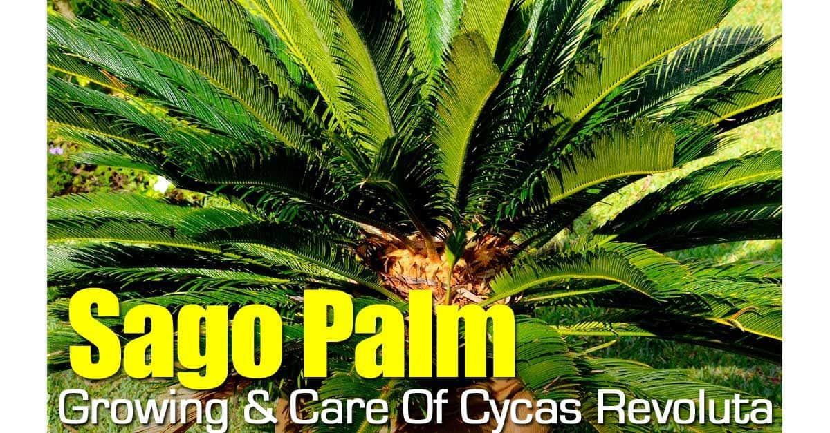 sago-palm-093014-1200x627 Palm Tree Looking House Plant on palm trees as houseplants, palm trees beach houses, palm tree guest house barbuda, palm tree care house, palm tree like house plant,