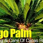 Sago Palm Care: How To Grow And Care For Cycas Revoluta