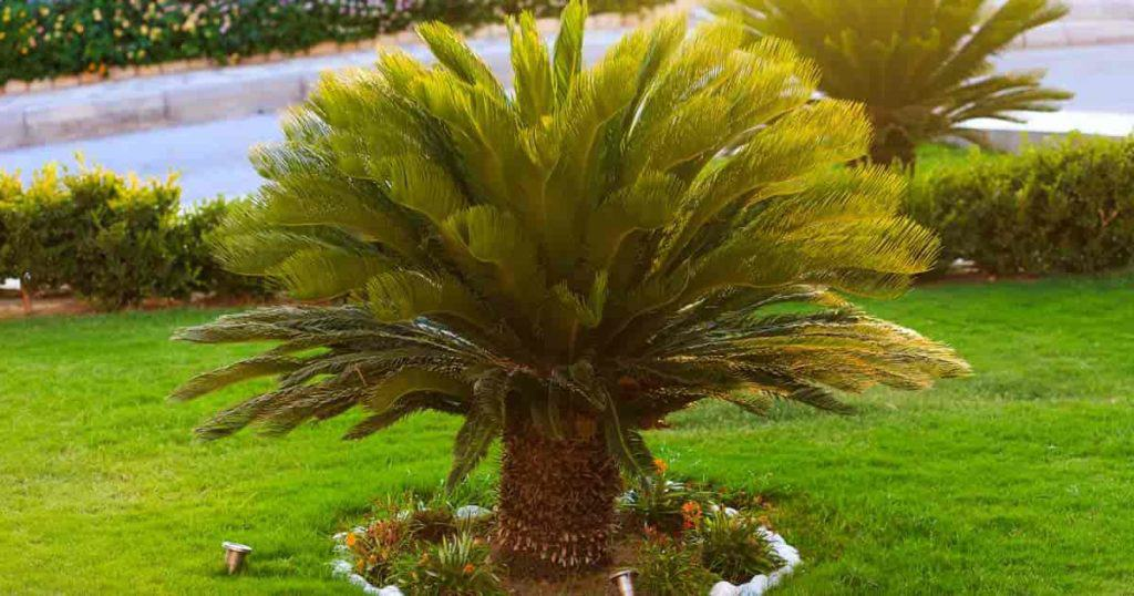 sago palm tree outdoors in the landscape