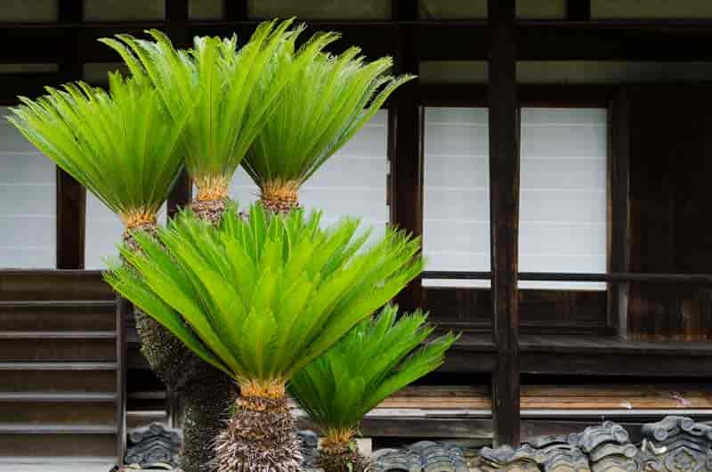sago plans growing outdoors in the landscape Japan
