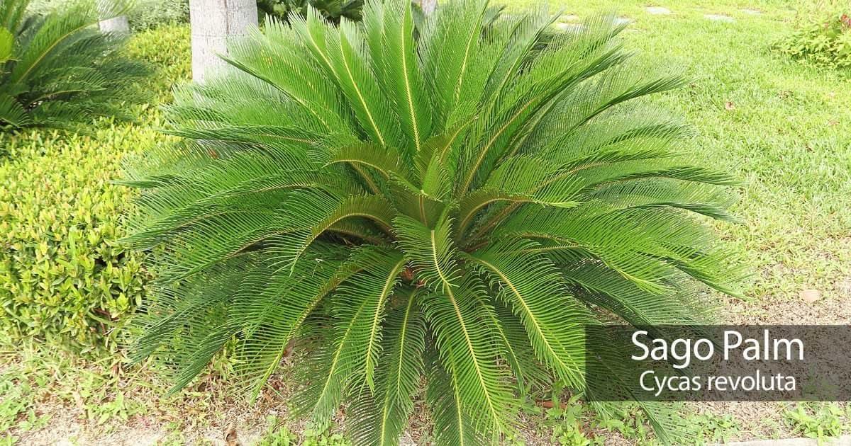 Sago palm growing inn the landscape