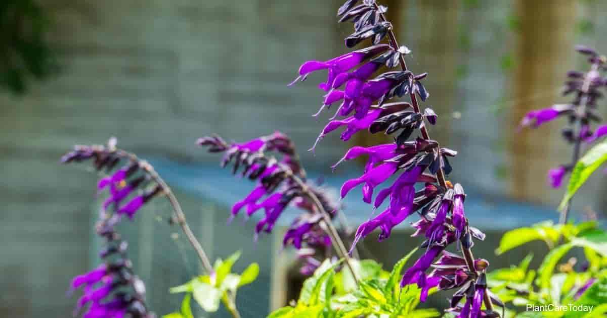 Blooming purple salvia amistad