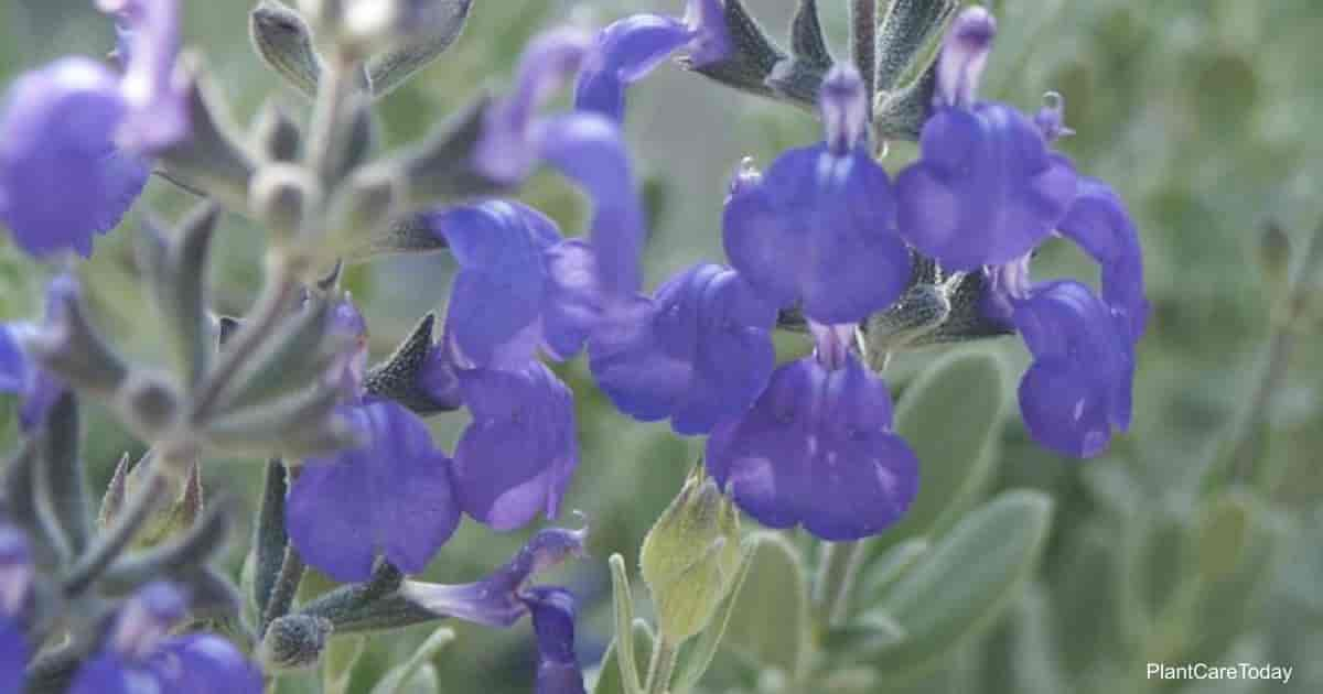 purple blooms of Salvia Germander Sage