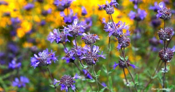 purple flowering Salvia leucophylla