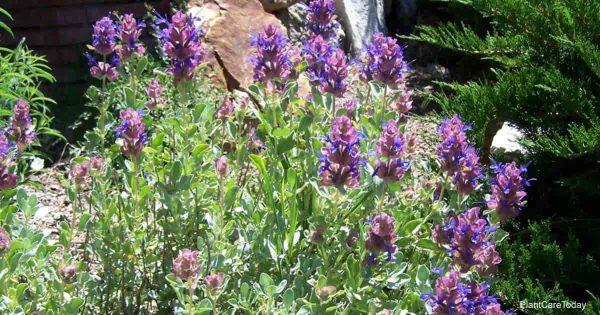 Purple Mojave Sage (Salvia Mohavensis)