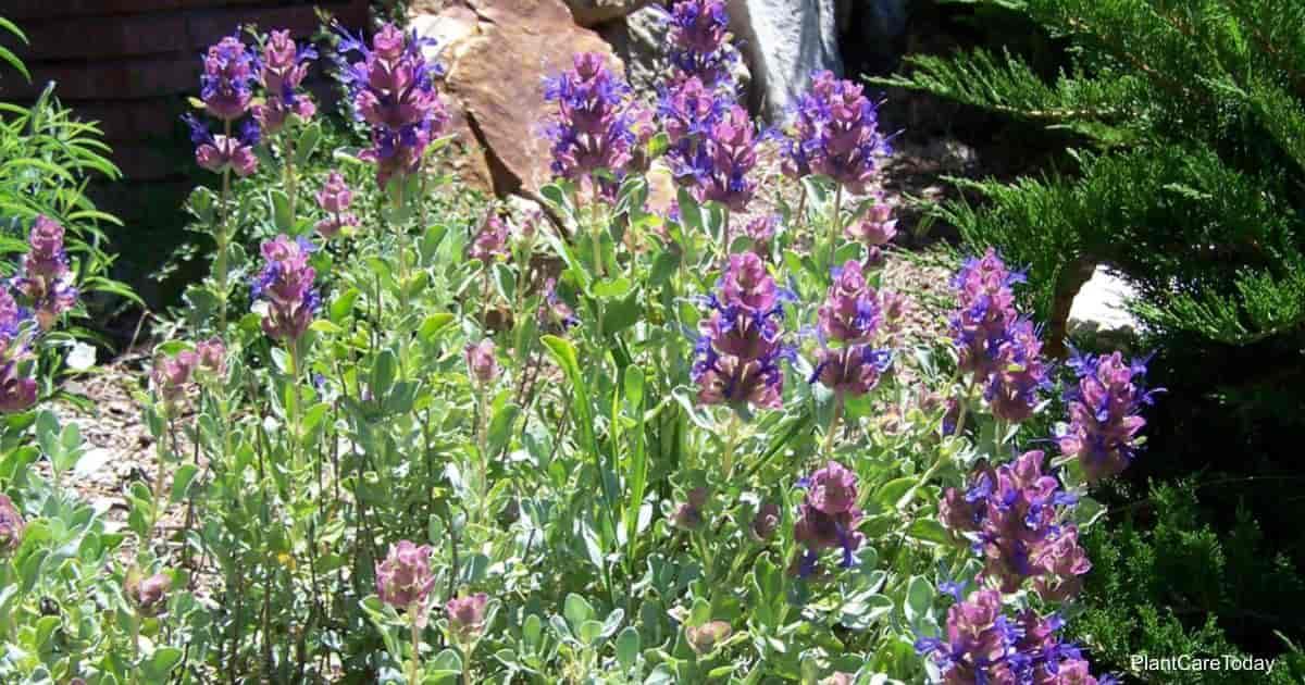 Purple Mojave Sage
