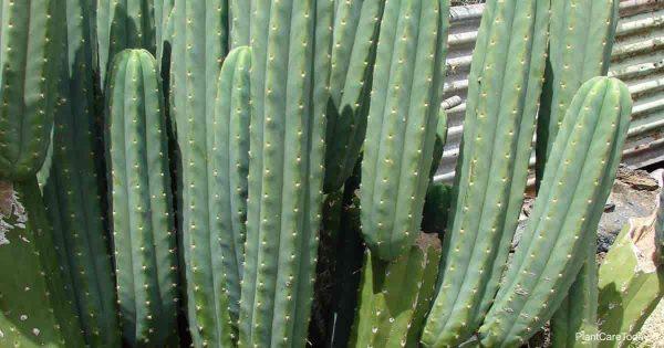 trichocereus pachanoi (san pedro cactus)