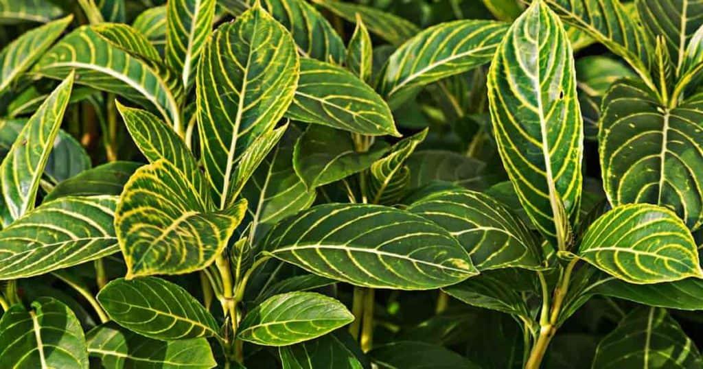 Zebra or gold vein leaves of Sanchezia Speciosa like high humidity