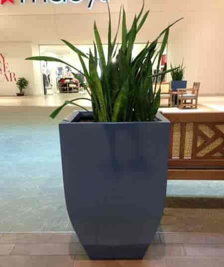 Sansevieria - snake plant - planted in large decorative planter Volusia Mall, Daytona Beach, Florida May 2018