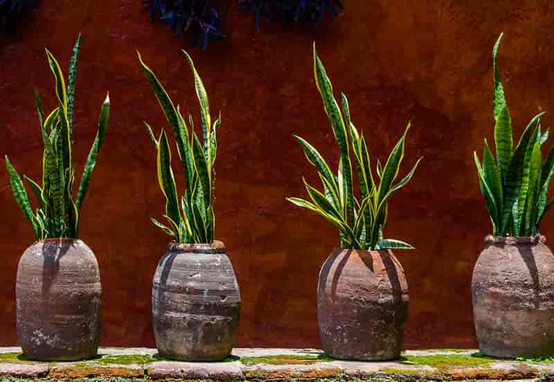 snake plants displayed in rustic planters