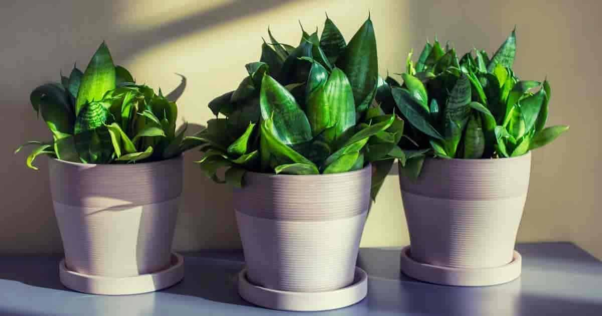 3 Sansevieria Hahnii house plants displayed in attractive decorative planters