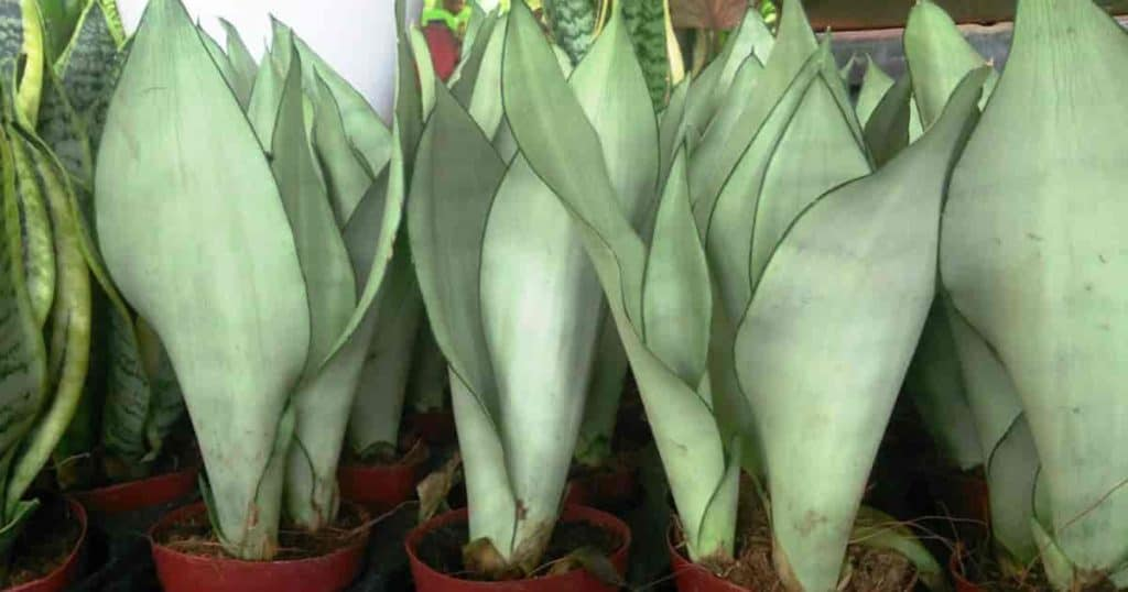 Plant care for potted Moonshine Sansevieria is easy