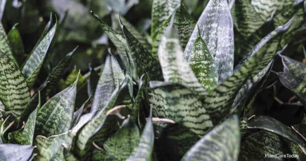 leaves of the tough, durable snake plant - Sansevieria Trifasciata