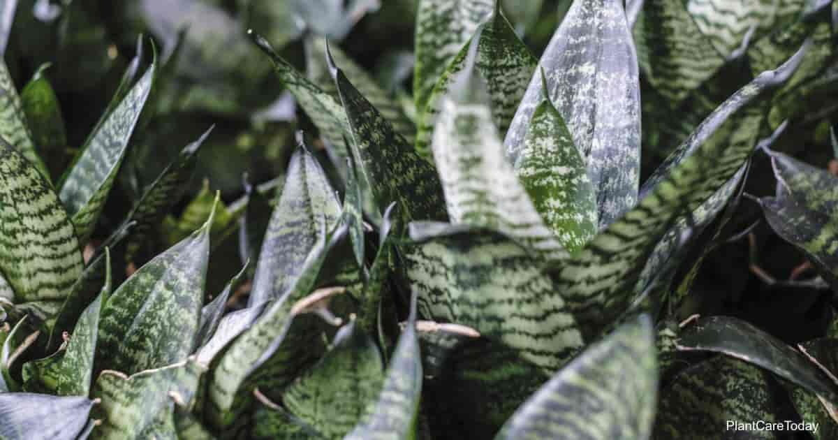 Leaves of the tough Sansevieria Trifasciata
