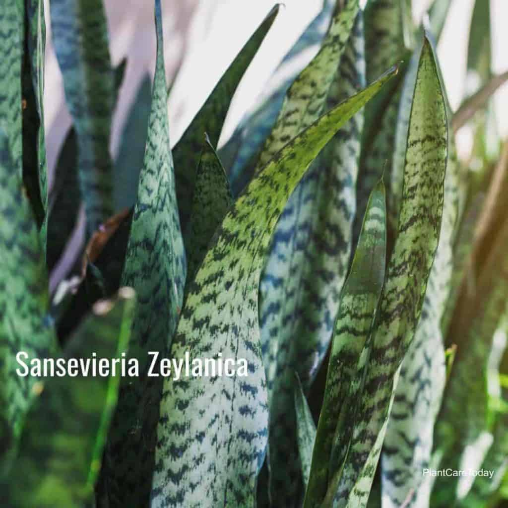 Snake plant known as Sansevieria zeylanica