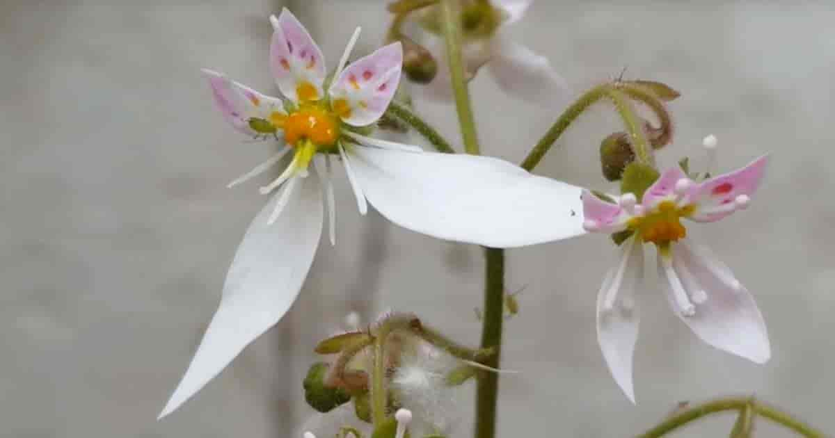 flower of Saxifraga stolonifera