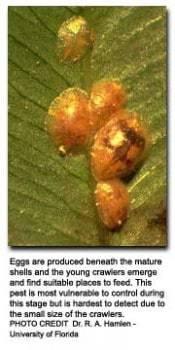 scale-pest-close-up
