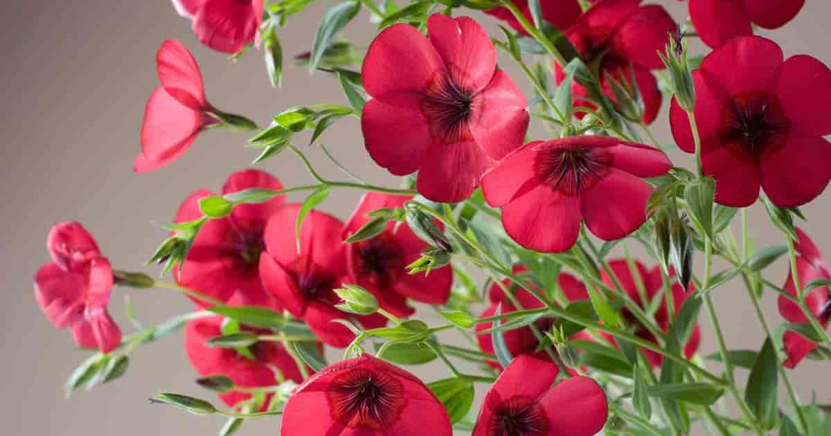 Flowering red Scarlet Flax