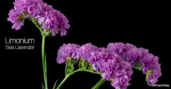 Sea lavender flower (Limonium) popular in flower arrangements