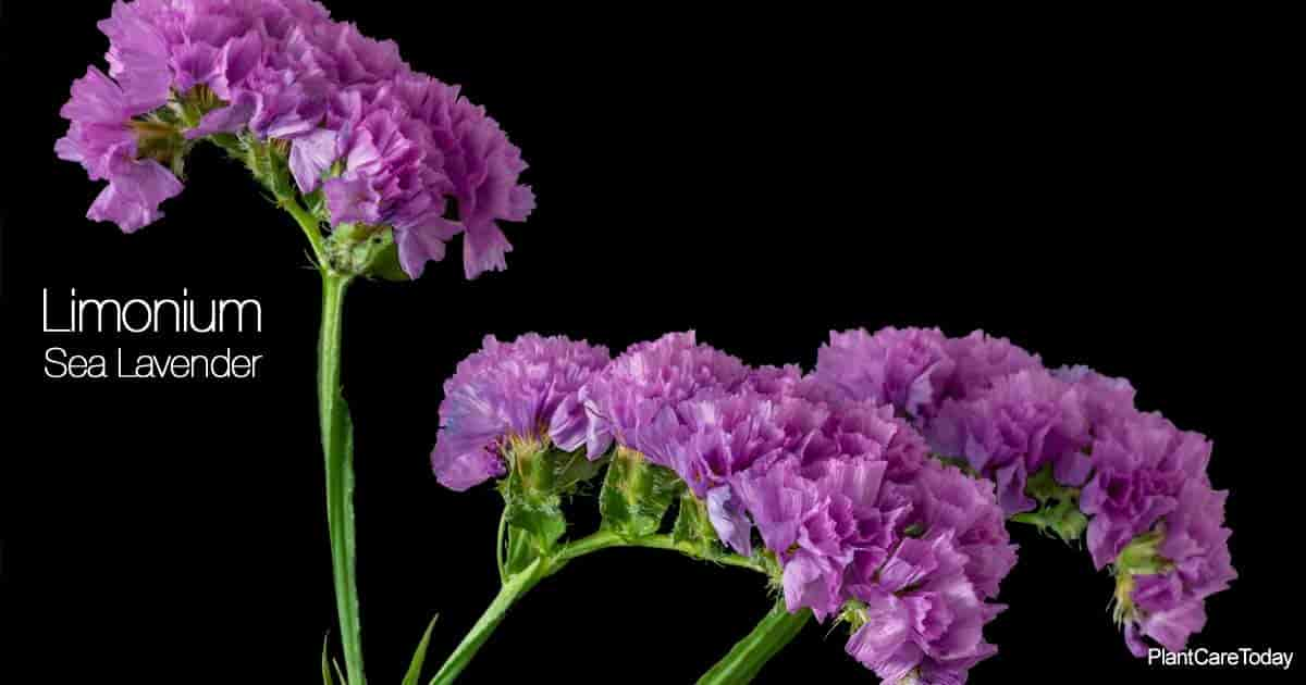 Sea lavender flower (Limonium) popular in flower arrangements